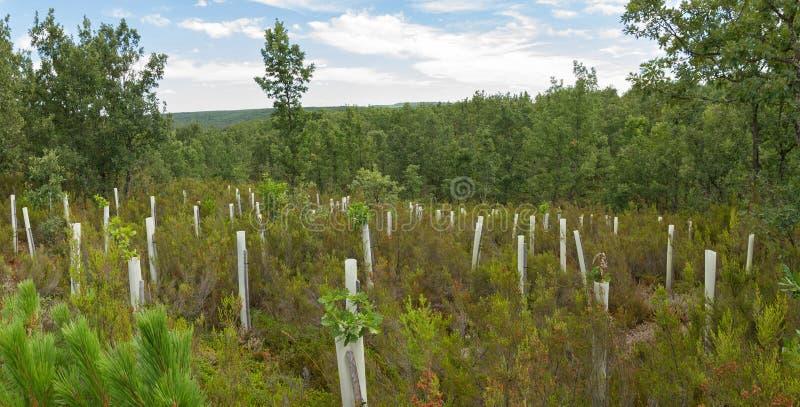 Het planten van bomen met beschermende buizen stock fotografie