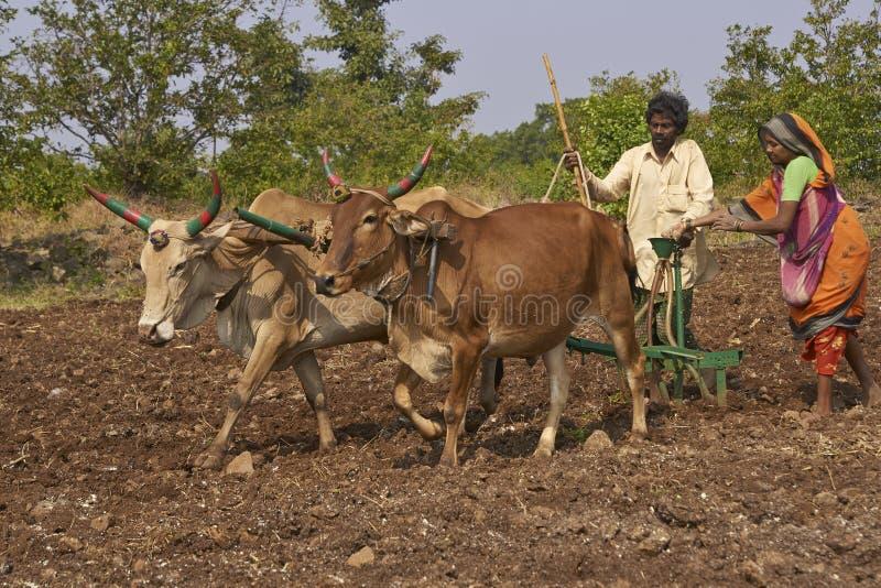 Het planten van graan die ossen in Mandu, India gebruiken stock fotografie