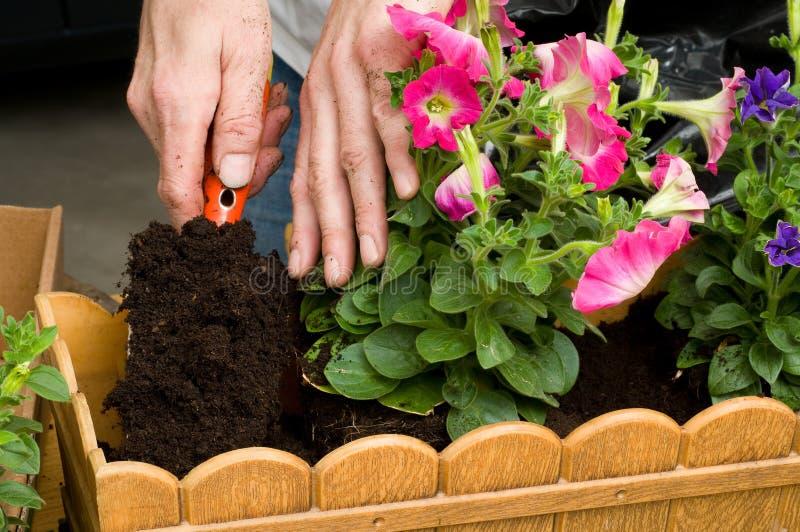 Het planten van petunia royalty-vrije stock fotografie