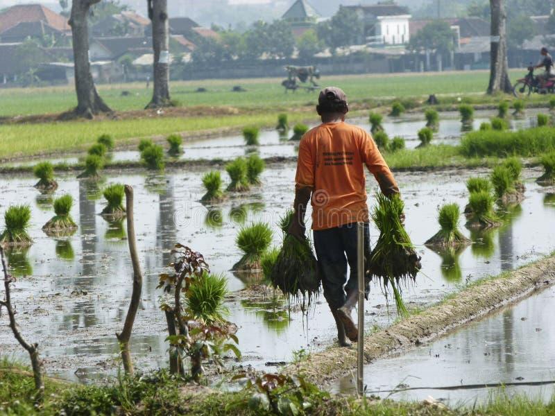 Het planten van rijst royalty-vrije stock fotografie