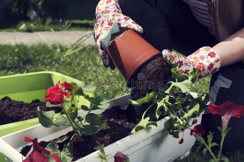 Het planten van rode ooievaarsbek in witte pot royalty-vrije stock afbeelding