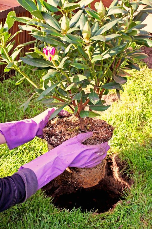 Het planten van rododendronstruik in tuin stock foto's