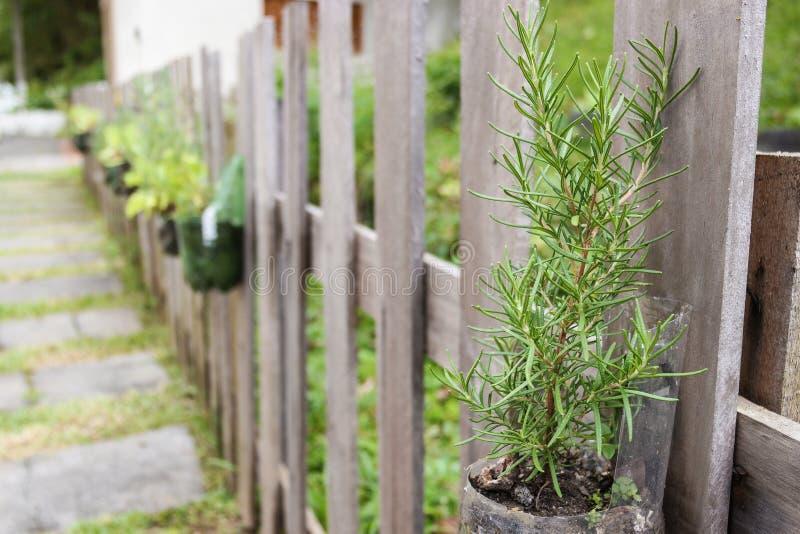 Het planten van Rosemary in een Milieuvriendelijke Tuin in de Binnenplaats stock foto