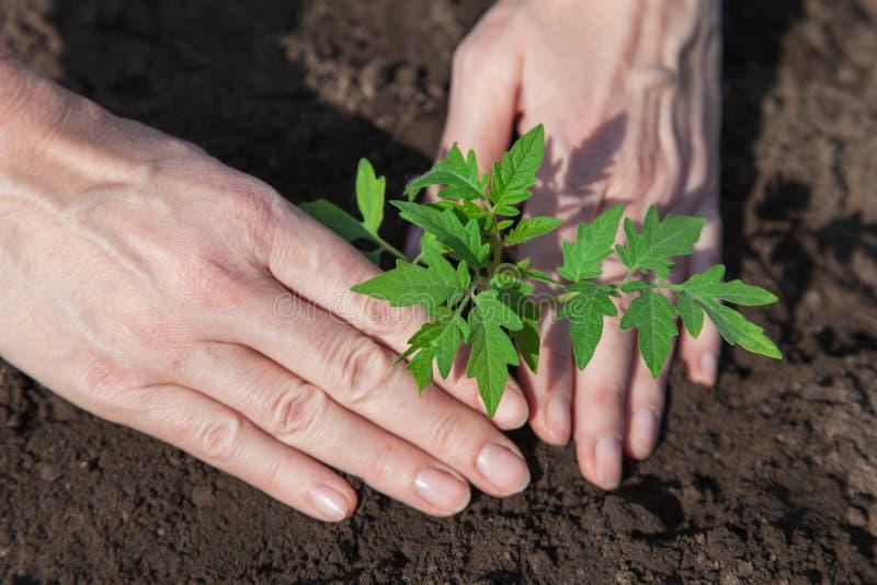Het planten van tomaten in de grond royalty-vrije stock afbeeldingen