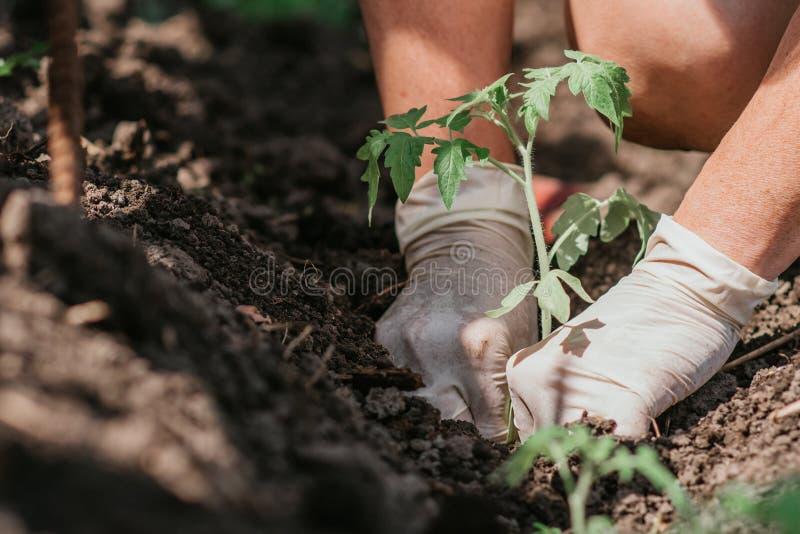 Het planten van tomatenzaailingen met de handen van een zorgvuldige landbouwer in hun tuin stock foto's