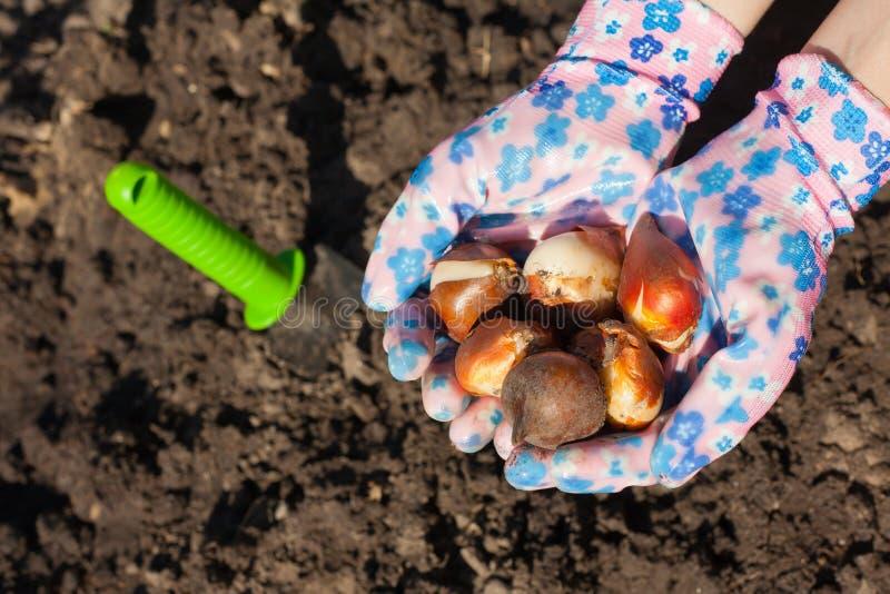 Het planten van tulpenbol stock foto's