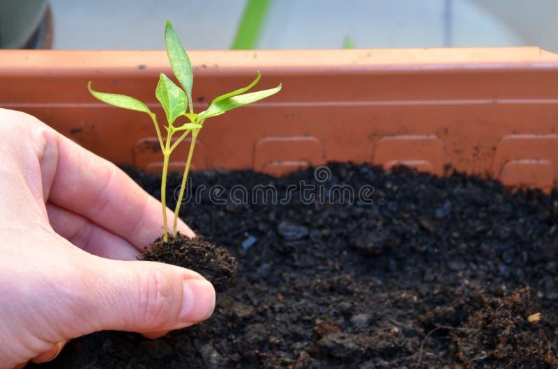 Het planten van twee groene kleine installaties van peper in bloempot op balkon stock afbeelding