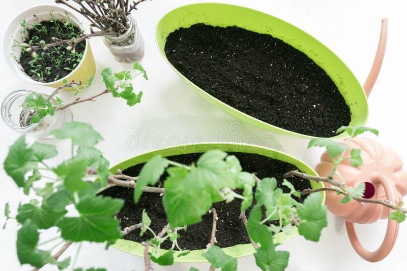 Het planten van zaailingenbes in potten, tuinhulpmiddelen stock afbeeldingen