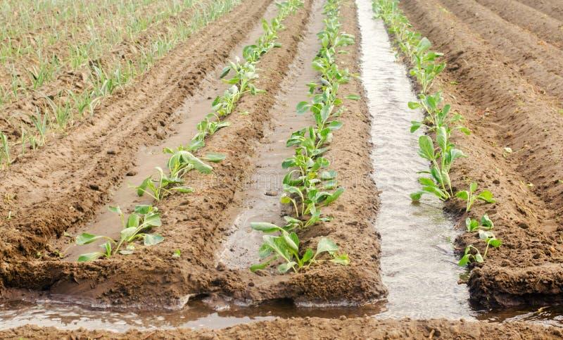 Het planten van zaailingenkool op het gebied en het natuurlijke water geven/Irrigatie Groeiende organische groenten Milieuvriende royalty-vrije stock foto