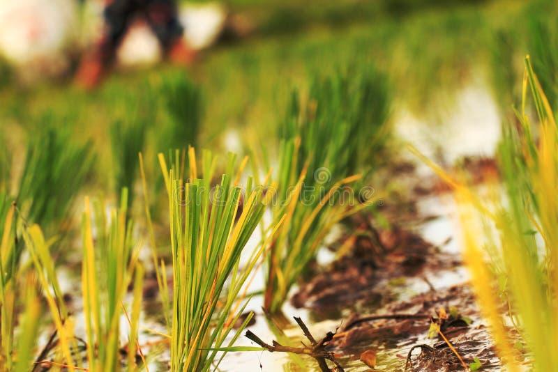 Het platteland van het het gebiedsseizoen van het rijstlandbouwbedrijf folkways royalty-vrije stock foto