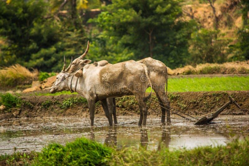 Het ploegen van modderig gebied met ossewagen voor het overplanten van padie stock foto