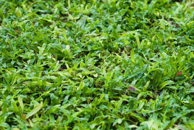 Het pluizig-gekeken groene gras in de tuin, kijkt zo vreedzaam royalty-vrije stock afbeelding