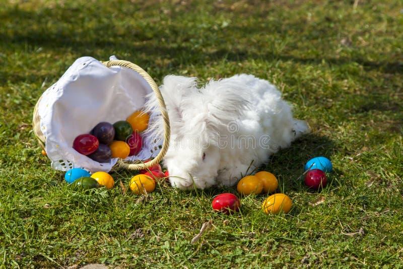 Het pluizige angora konijntje van Pasen met paaseieren stock afbeelding