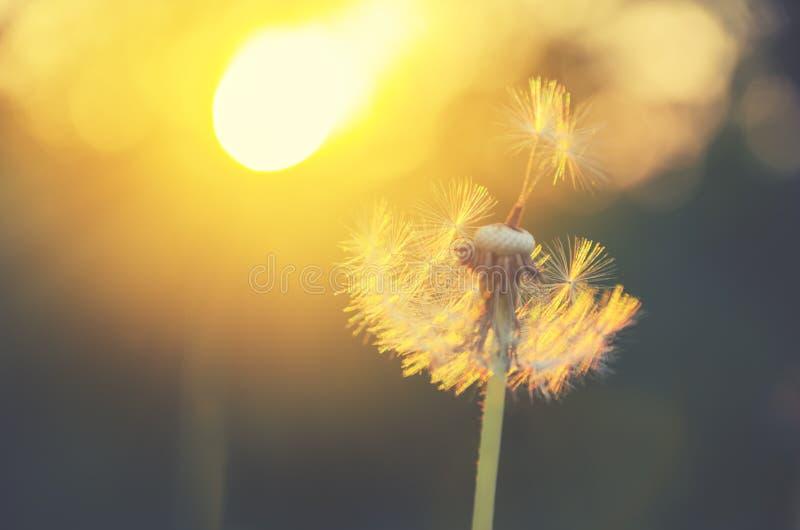 Het pluizige die paardebloem groeien in de lentetuin door het warme gouden licht van het plaatsen van zon op een zachte vage acht royalty-vrije stock foto