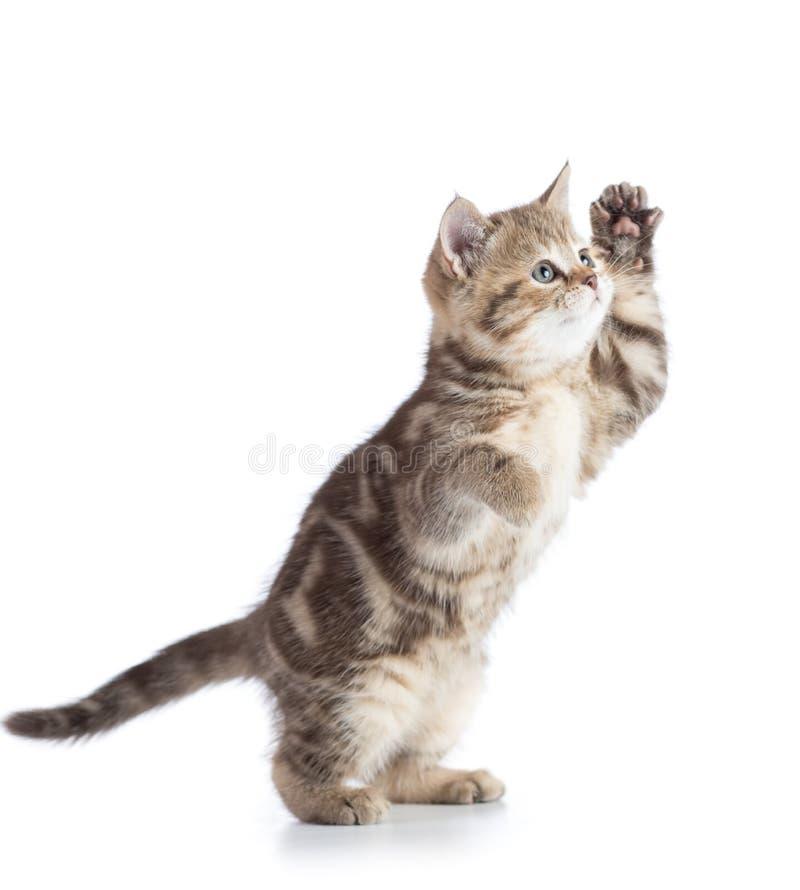 Het pluizige grijze kattenkatje, kweekt Schotse recht, spelend over witte achtergrond royalty-vrije stock foto's