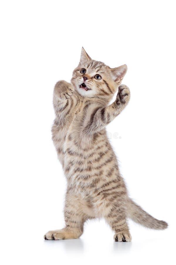 Het pluizige grijze kattenkatje, kweekt Schotse recht, spelend over witte achtergrond royalty-vrije stock afbeelding