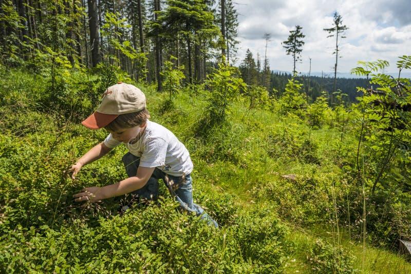 Het plukken bosbessen royalty-vrije stock foto's