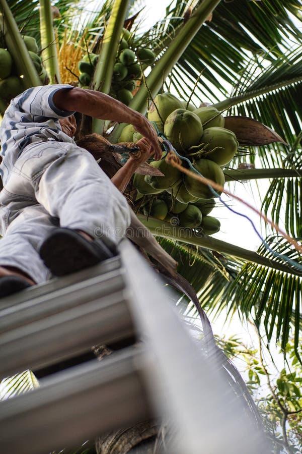 Het plukken kokosnoot met papa openlucht royalty-vrije stock fotografie