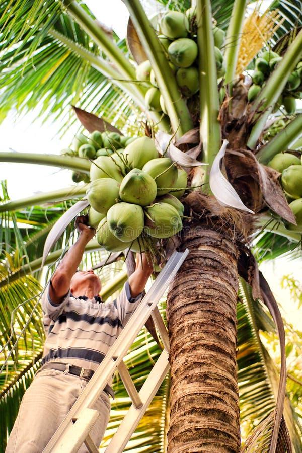 Het plukken kokosnoot met papa stock afbeeldingen