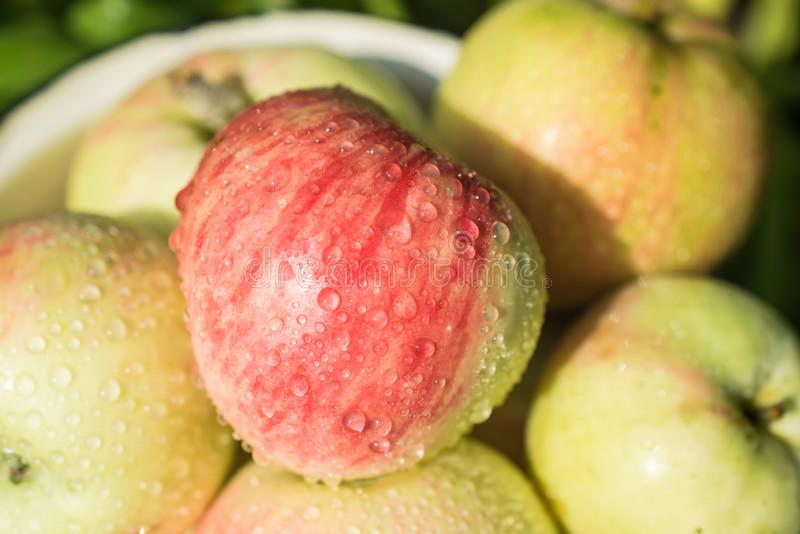 Het plukken oogst van verse en rijpe sappige appel stock afbeeldingen