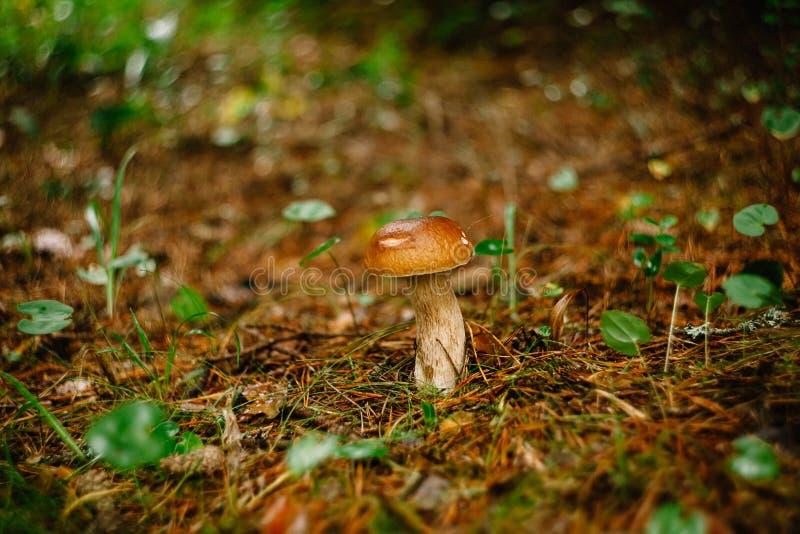 Het plukken paddestoelen en Amerikaanse veenbessen in bos in de zomer of de vroege herfst De Dagen van de zomer De paddestoelen e royalty-vrije stock fotografie