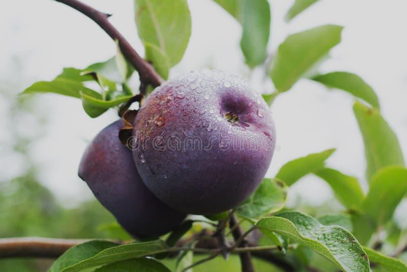 Het plukken rood - heerlijke appelen uit op een mooie dag stock fotografie