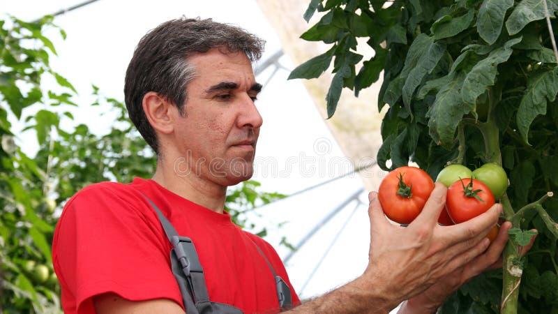 Het Plukken van de arbeider Tomaten royalty-vrije stock afbeelding