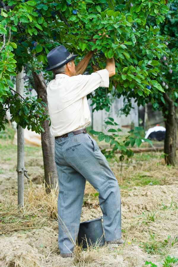Het plukken van de landbouwer pruimen royalty-vrije stock foto's