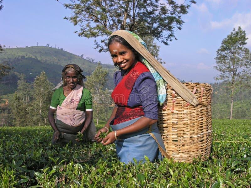 Het plukken van de thee in Zuid-India royalty-vrije stock afbeeldingen