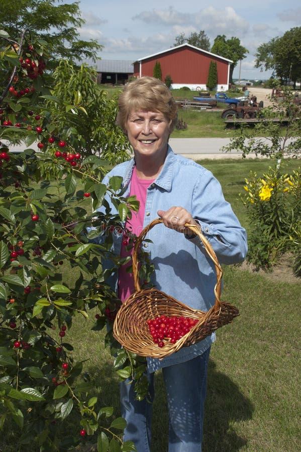 Het Plukken van de Vrouw van de landbouwer Kersen van de Boom van de Kers royalty-vrije stock foto