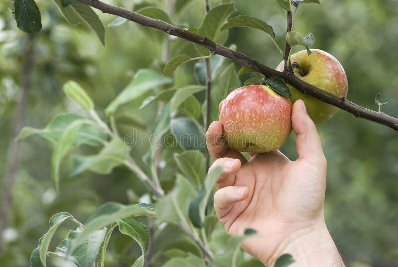 Het plukken van een appel royalty-vrije stock afbeeldingen