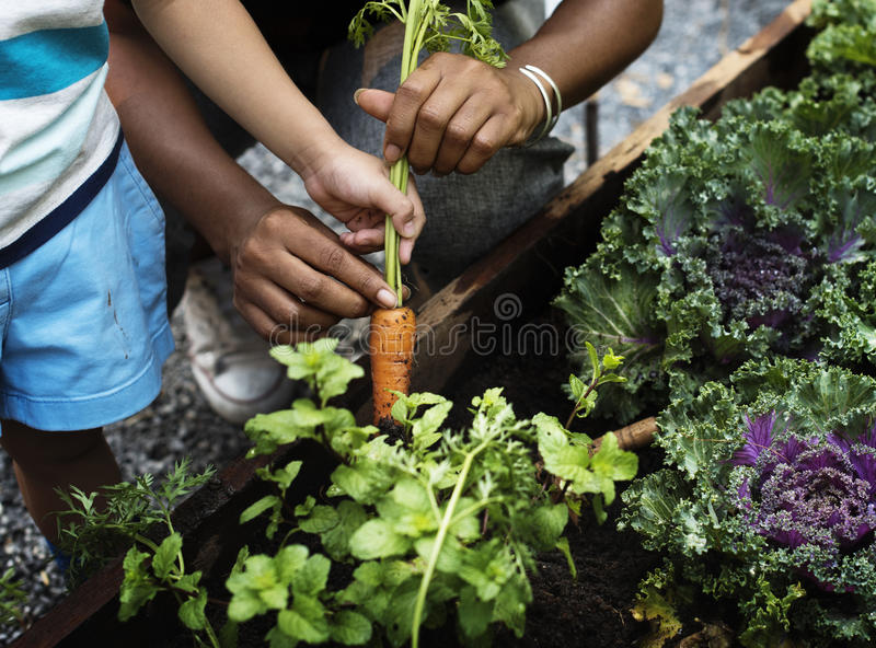 Het plukken van een babywortel in een tuin stock afbeelding
