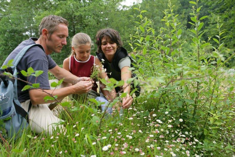 Het plukken van het meisje bloemen met ouders royalty-vrije stock afbeelding