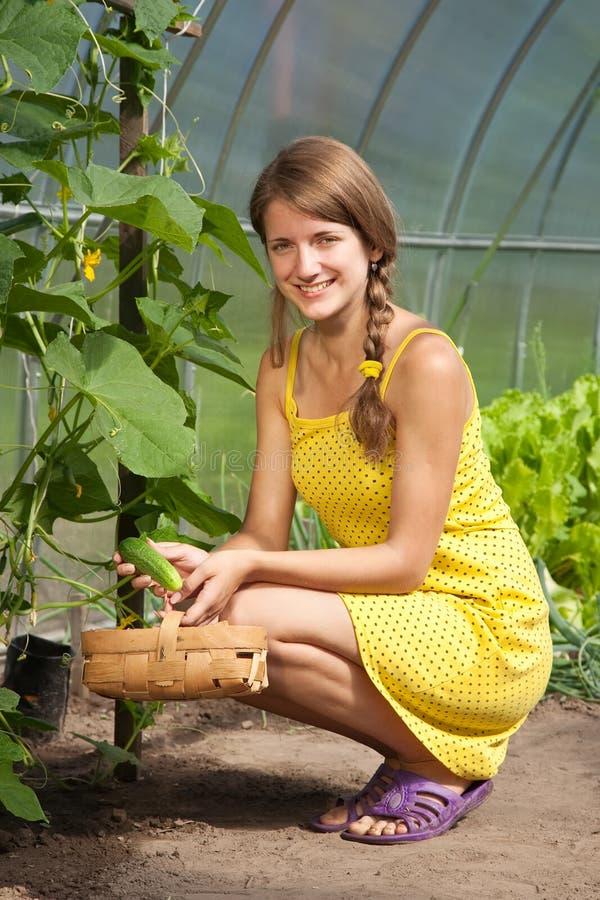 Het plukken van het meisje komkommer stock fotografie