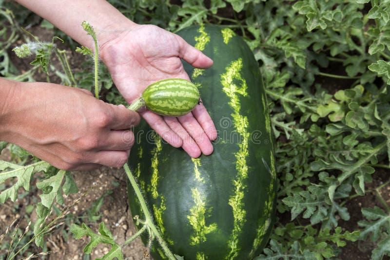 Het plukken watermeloen op het gebied stock foto's