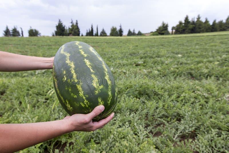 Het plukken watermeloen op het gebied royalty-vrije stock afbeelding