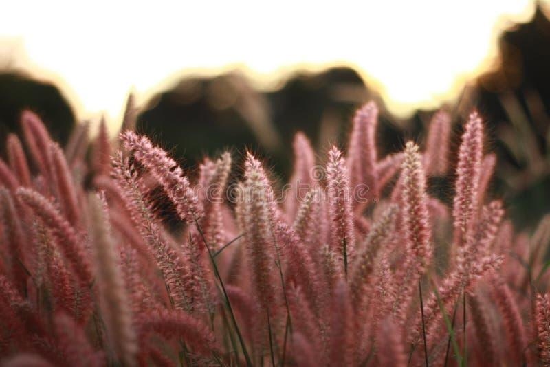 Het Poaceaegras bloeit Gebied, Groen gras in aardlandschap van de winterweide van Thailand royalty-vrije stock fotografie