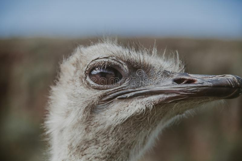 Het portret dichte omhooggaand van de struisvogel stock afbeelding