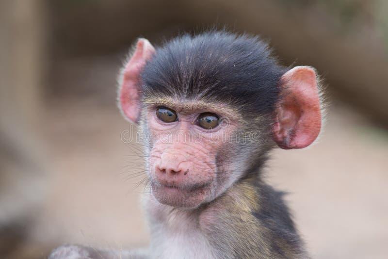 Het portret die van de babybaviaan zeer verward close-up kijken royalty-vrije stock afbeelding