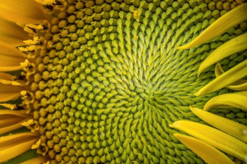 Het portret en sluit omhoog van zonnebloembloem in de de zomertuin Macrofotografie van aard stock fotografie