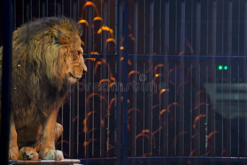 Het portret van de circusleeuw in een kooi royalty-vrije stock afbeelding