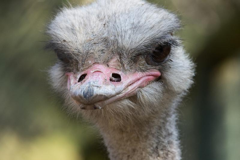 Het portret van de close-up van struisvogel stock foto's