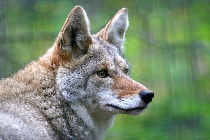 Het portret van de close-up van coyote in de winterlaag royalty-vrije stock afbeeldingen