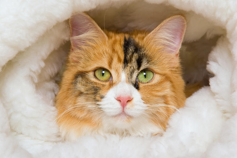 Het portret van de close-up van de kat van het Calico in bontbed royalty-vrije stock foto