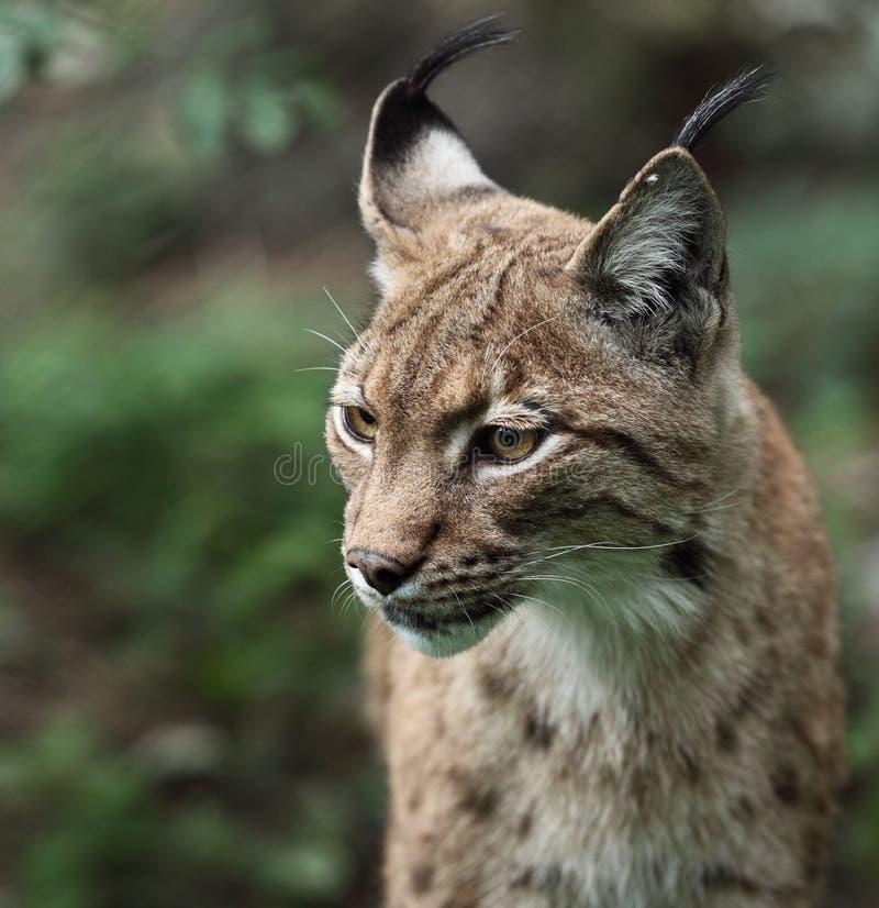 Het portret van de close-up van een Europees-Aziatische Lynx stock afbeelding