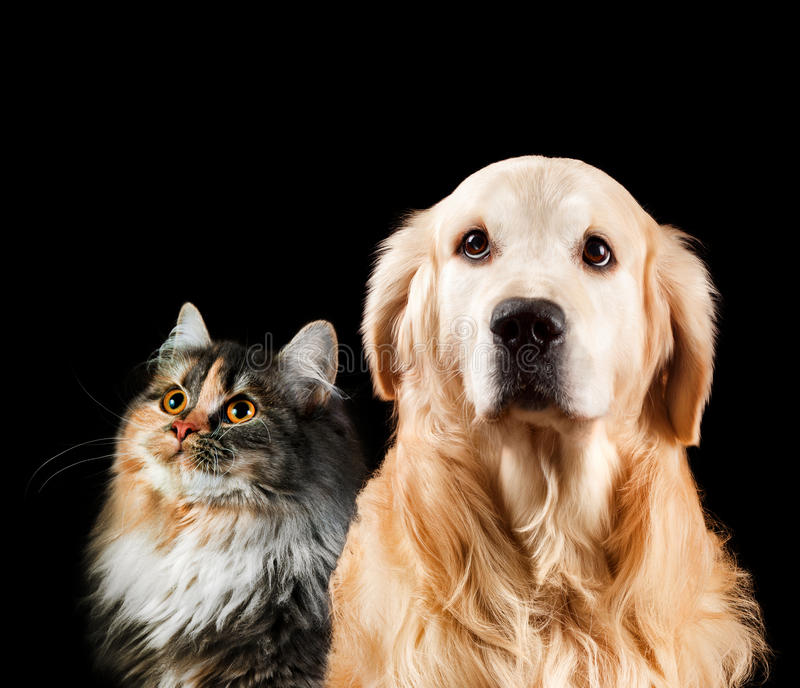 Het portret van de close-up van een kat en een hond Geïsoleerde op zwarte achtergrond Golden retriever en Siberiër royalty-vrije stock fotografie
