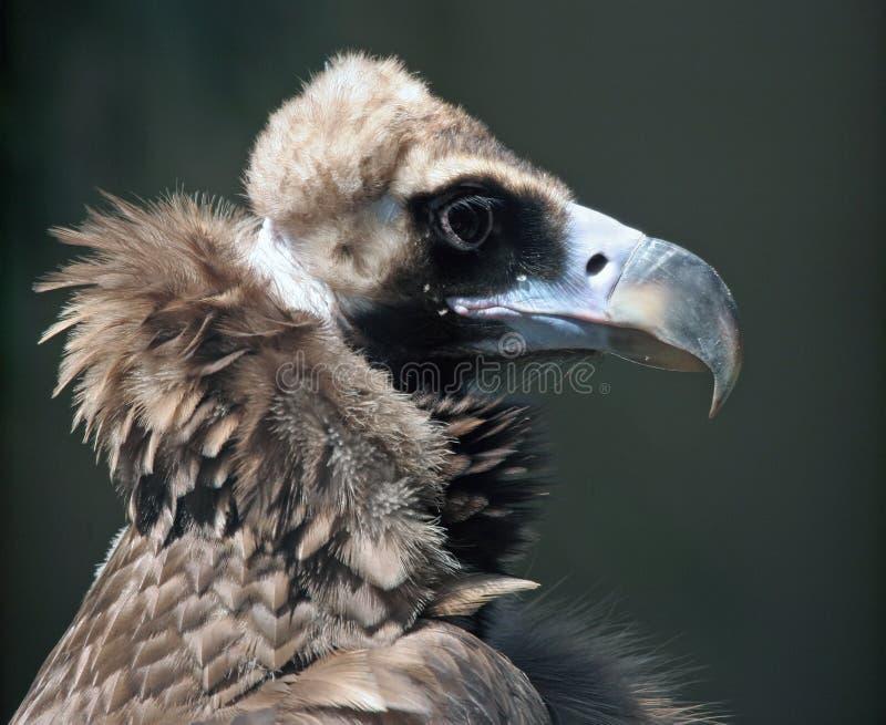 Het Portret van de condor stock foto's