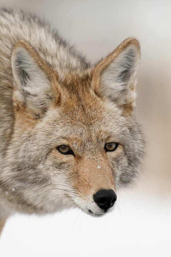 Het Portret van de coyote royalty-vrije stock afbeelding