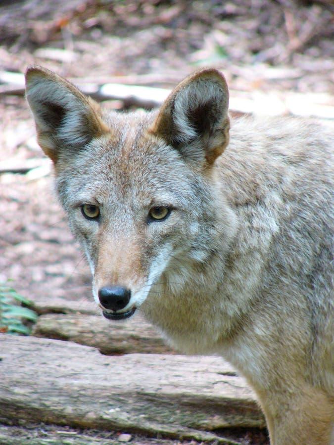Het Portret van de coyote royalty-vrije stock fotografie