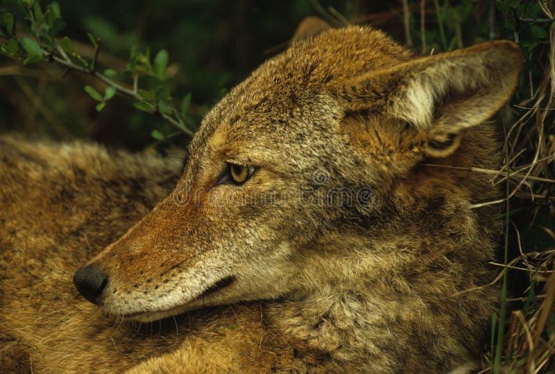 Het Portret van de coyote royalty-vrije stock foto